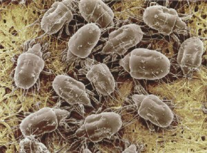 Dust Mites in Carpeting