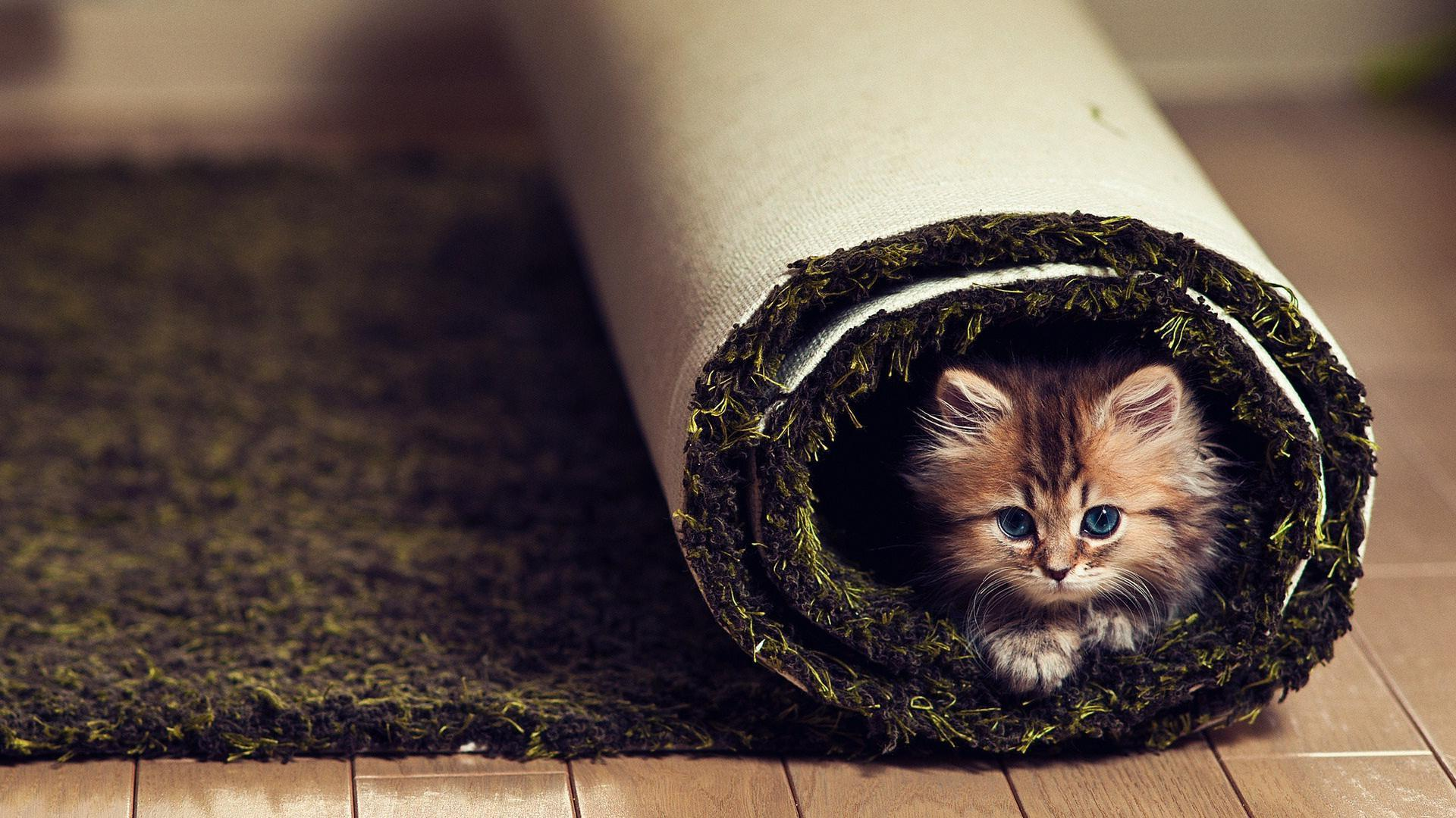 carpet - kitten